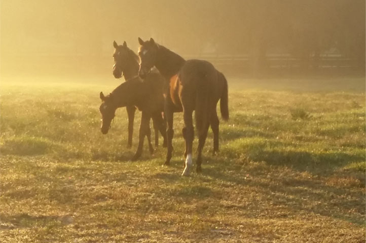 Horses in a foggy pasture